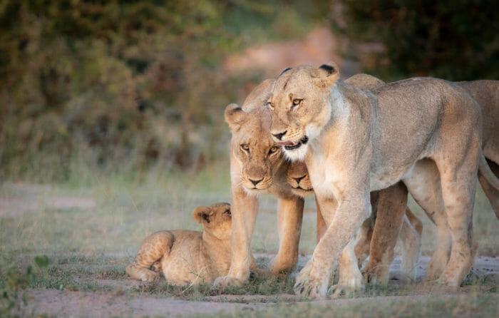 Ntsevu Pride Lions Jt 4