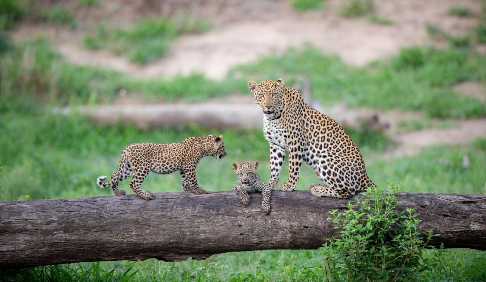 Ximungwe Leopard Cub Log