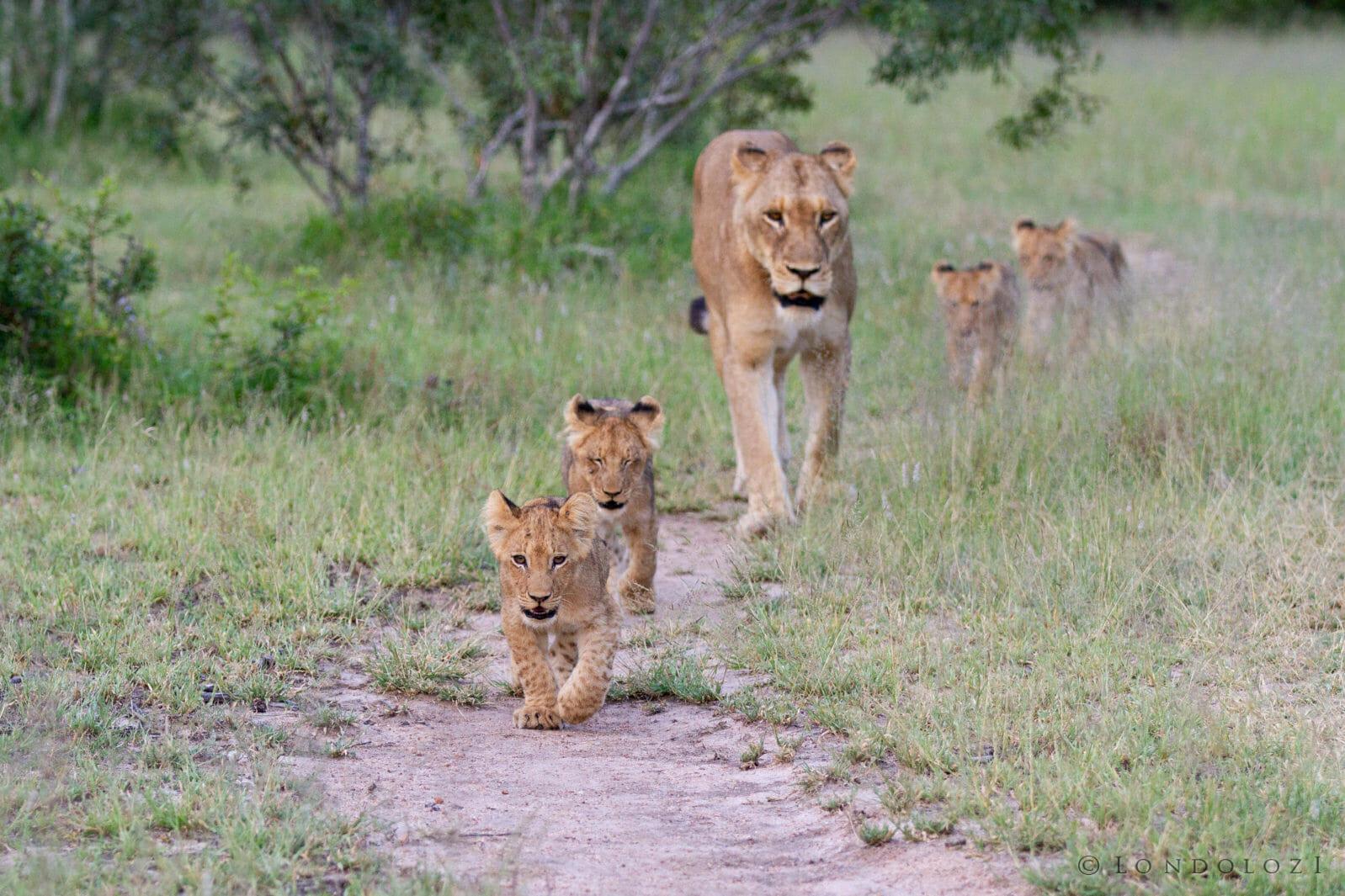 Tsalala Lion Cubs 2014