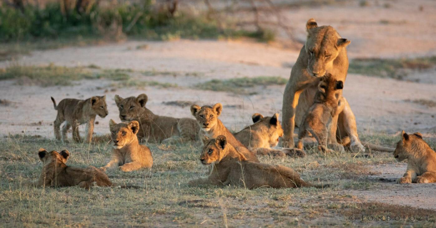 Ntsevu Lion Cubs1