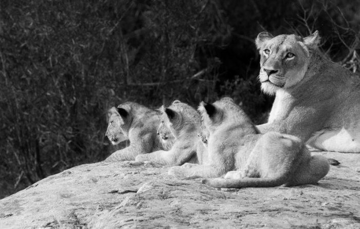 Mhangeni Lion Cubs Rock