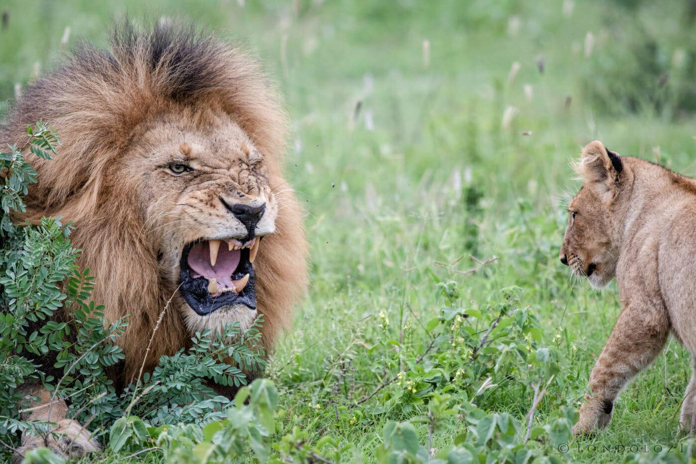 Birmingham Lion Cub Aj