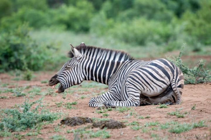 Zebra Aj