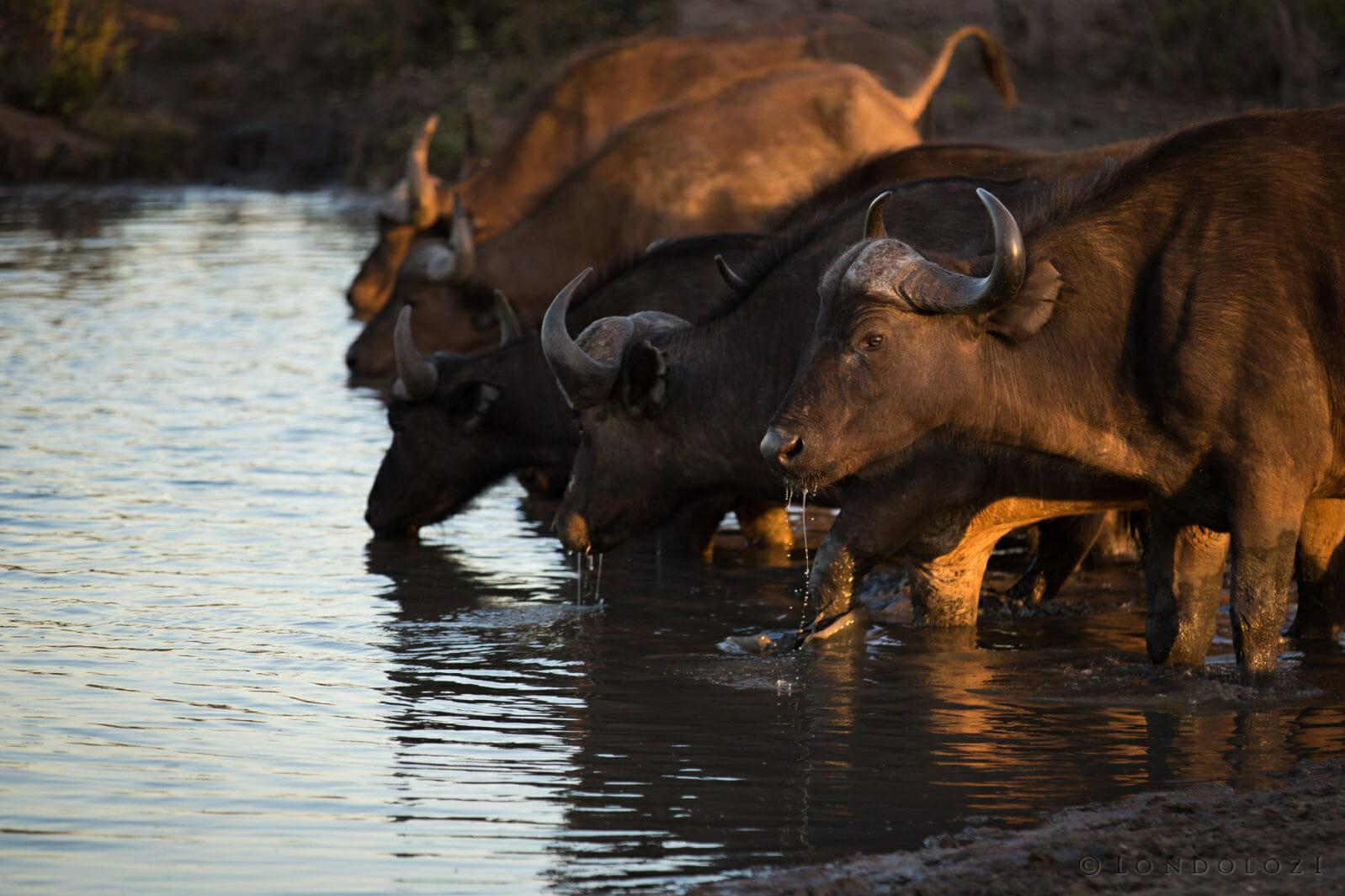 Buffalo Drink