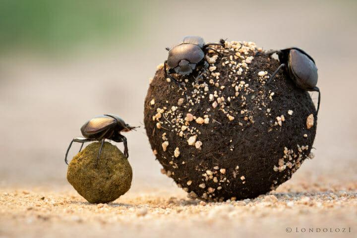 Dung Beetle 2