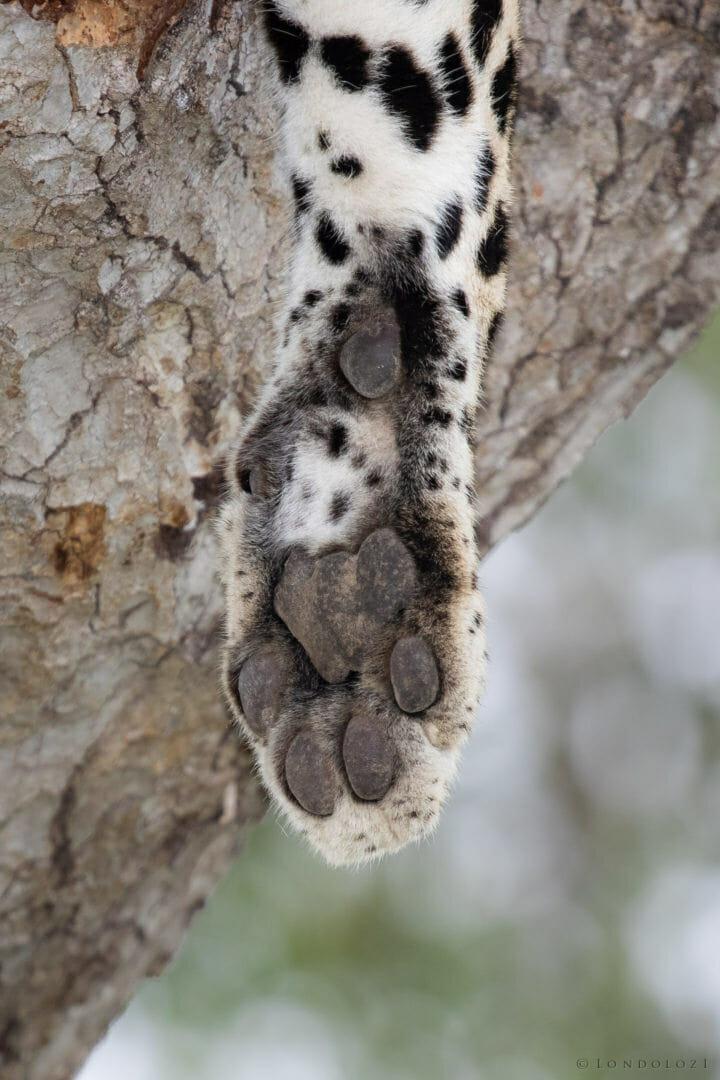 Leopard Paw
