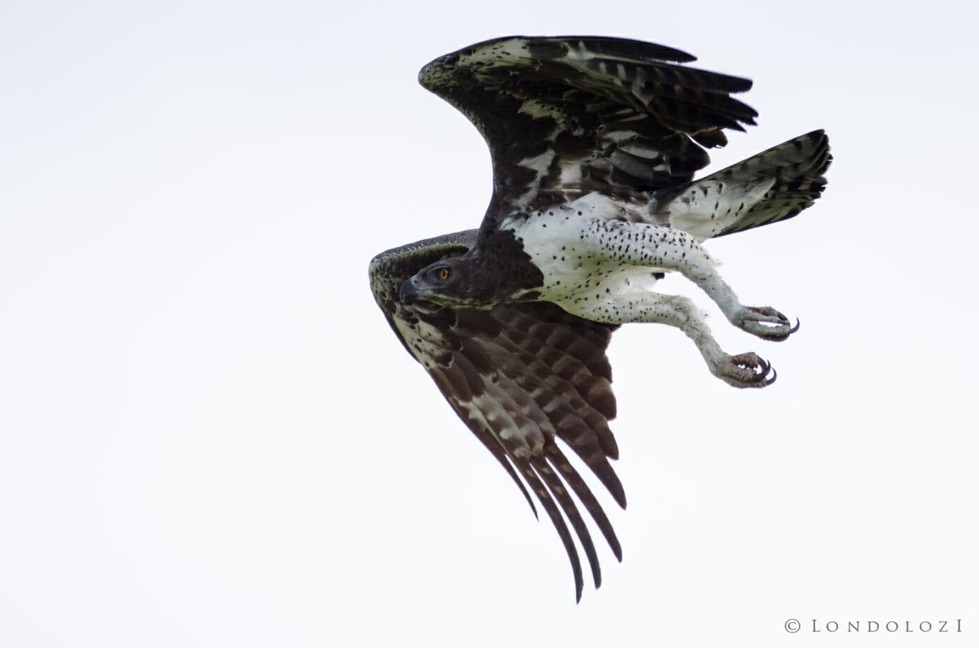 Martial Eagle Bird
