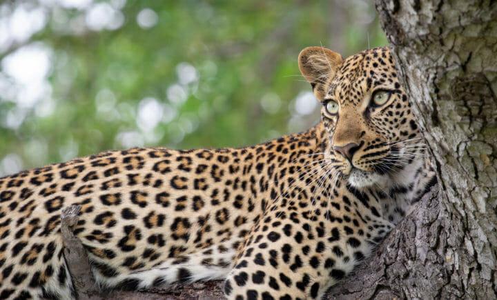 Tamboti Young Female Leopard