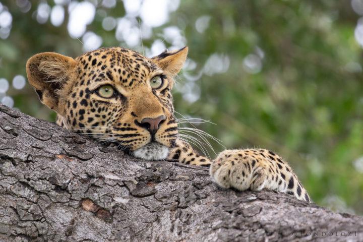 Tamboti Young Female Leopard 2