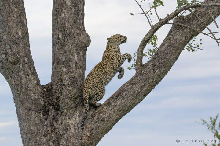 Nkoveni Leopard Cub Jump Up