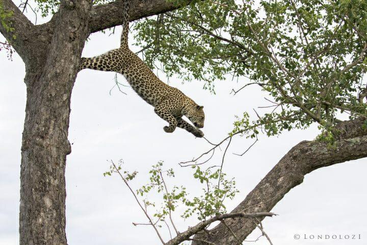 Nkoveni Leopard Cub Leap 2
