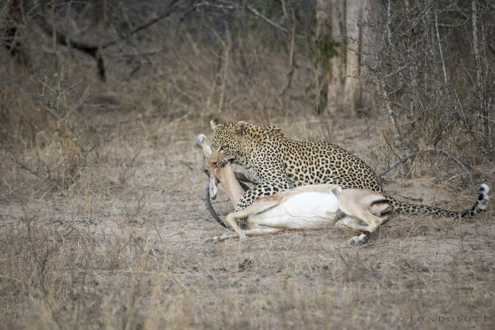 Nkoveni Leopard Kill Impala