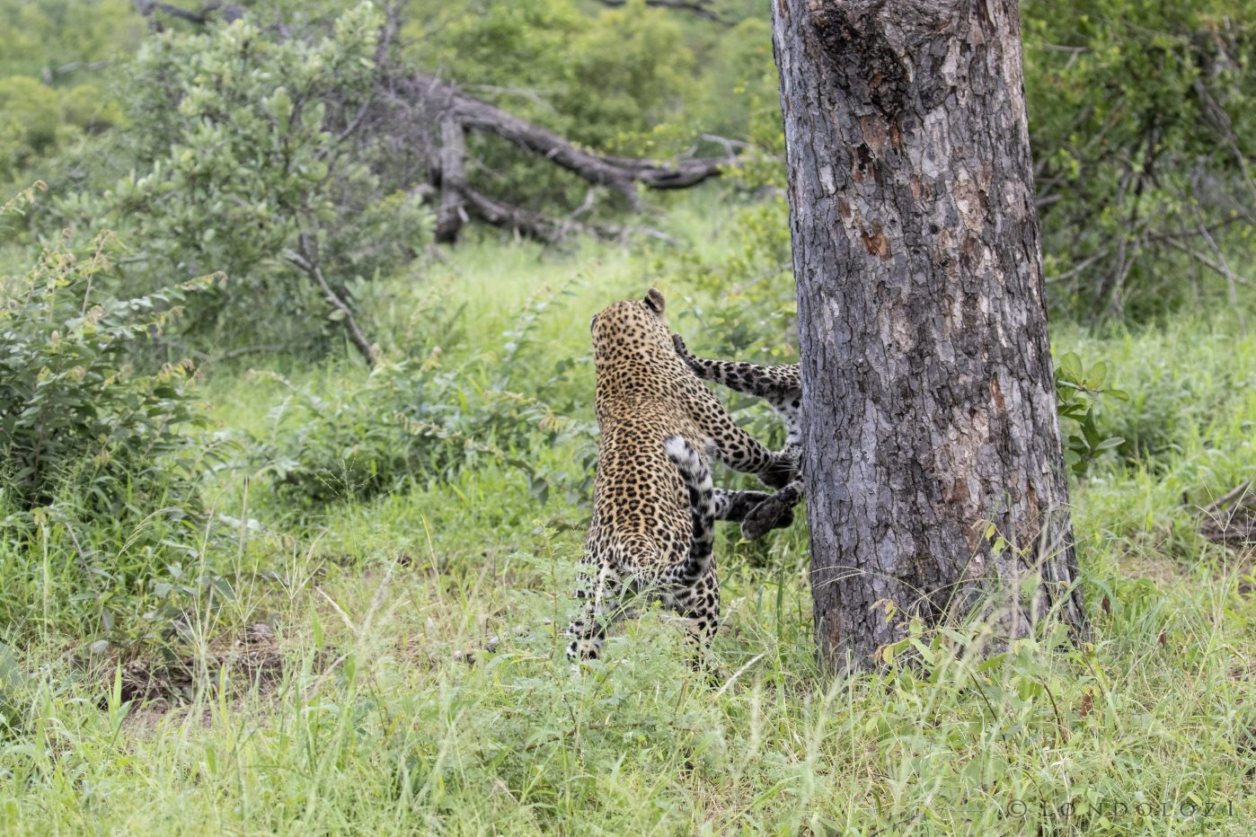 Nkoveni Female Leopard Cub Play 2