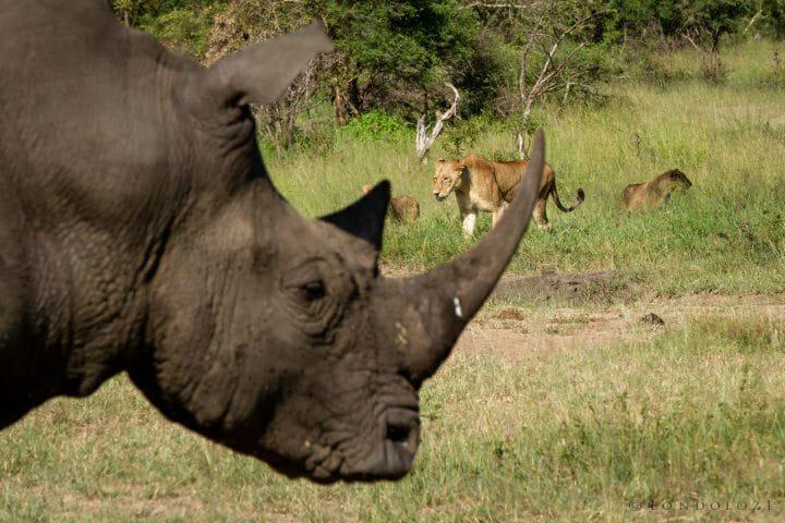 Lion Rhino Sparta Majingilane 3