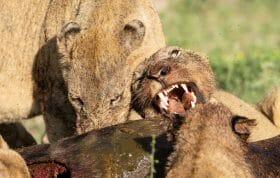 Ntsevu Lion Pride Wildlbeest 8