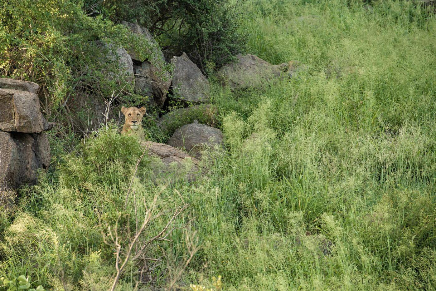 Tsalala Lioness Grass 2018