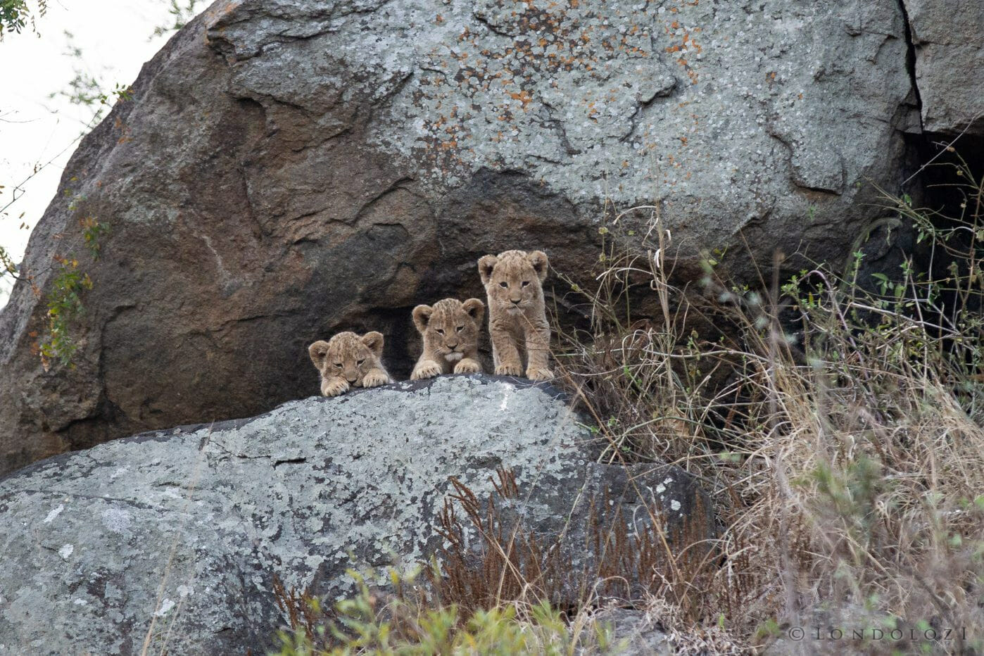 Tsalala Lion Cubs 2013 Den