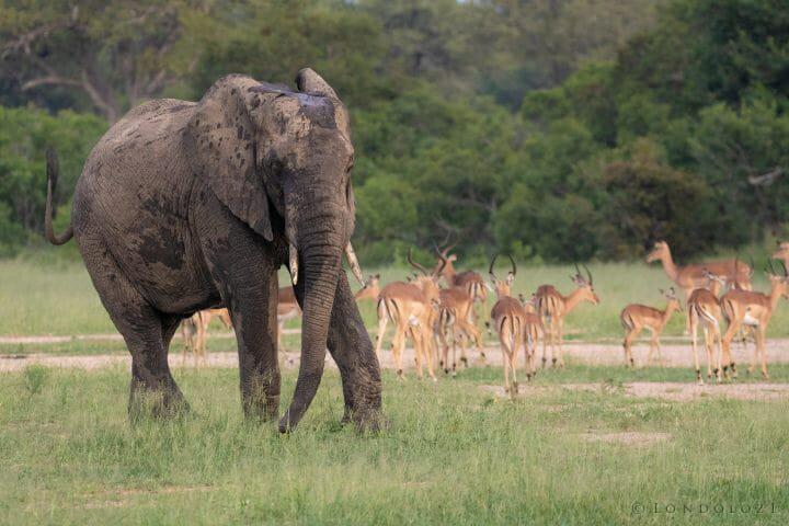 Elephant Impala