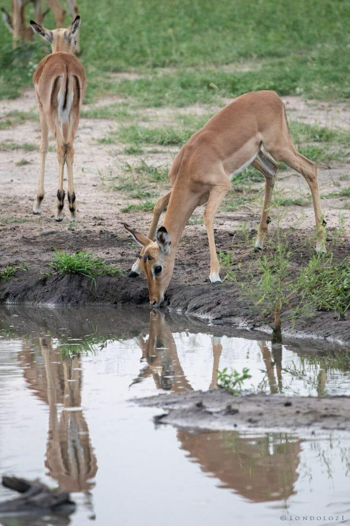 Impala Drink