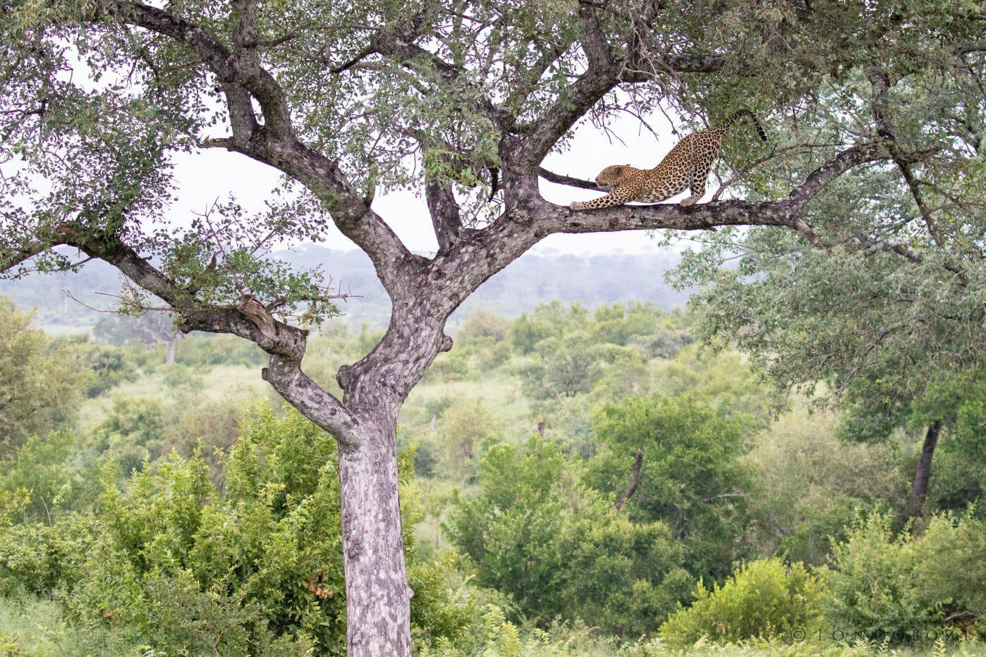 Mashaba Leopard Marula