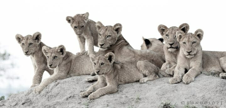 Ntsevu Lion Cubs Termite Mound
