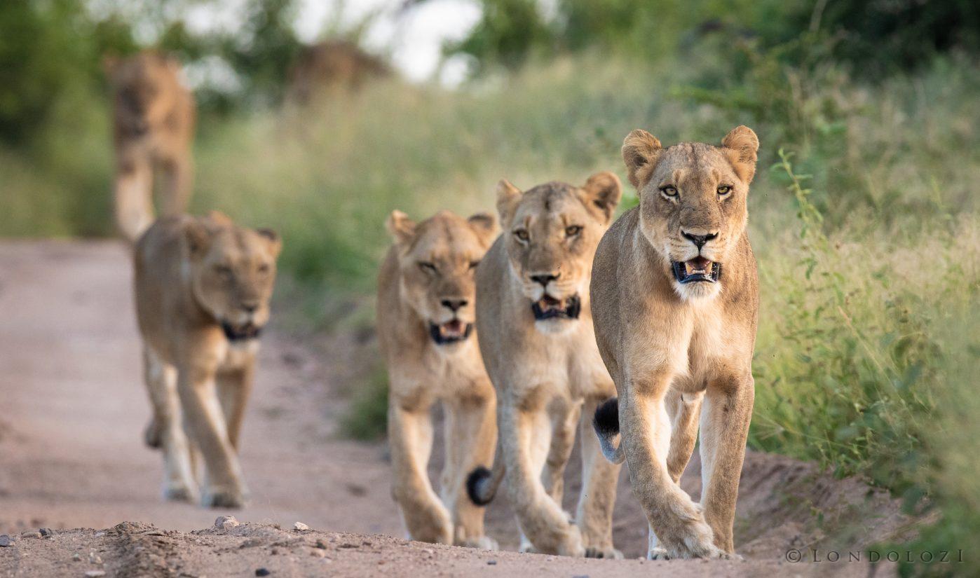 Ntsevu Lion Pride