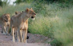 Ntsevu Lions Hunting