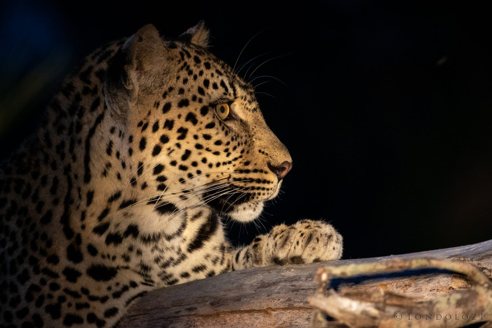 Three Rivers Leopard