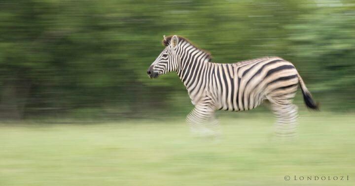 Zebra Panning