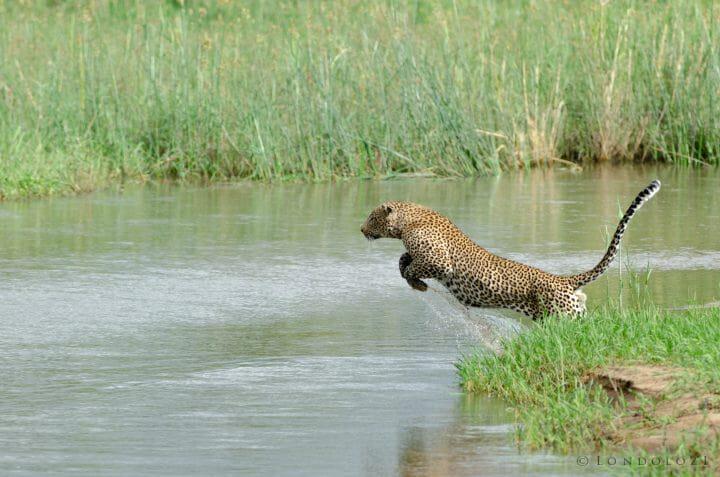 Nyelethi Leopard Jump River 4