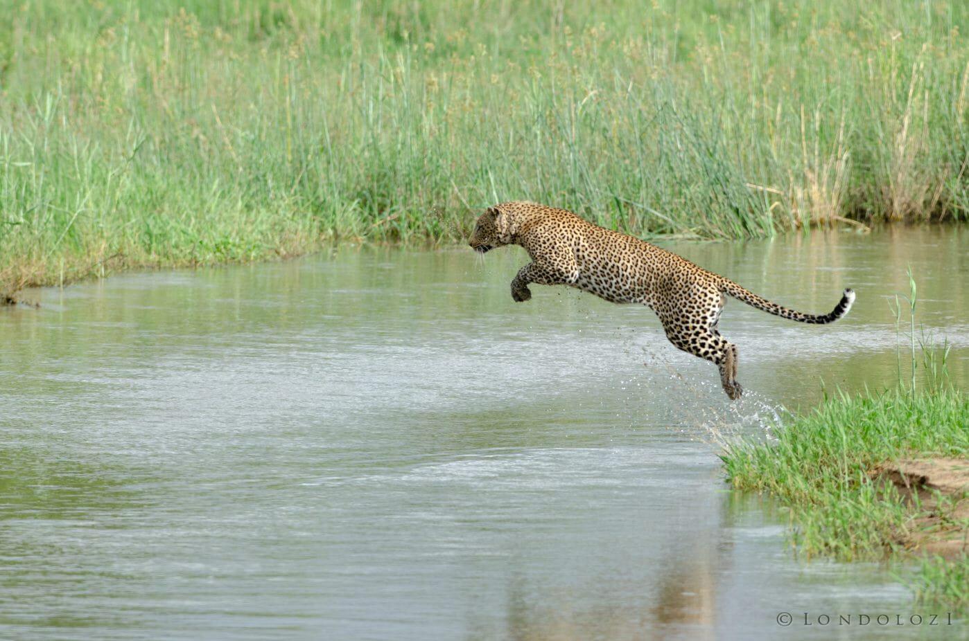 Nyelethi Leopard Jump River 5