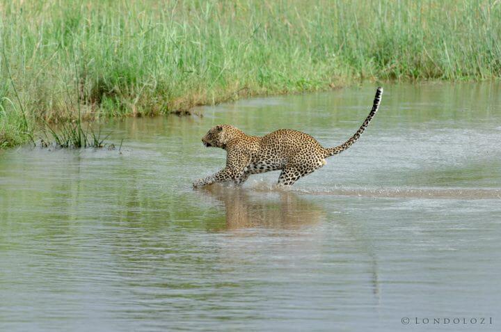 Nyelethi Leopard Jump River 7
