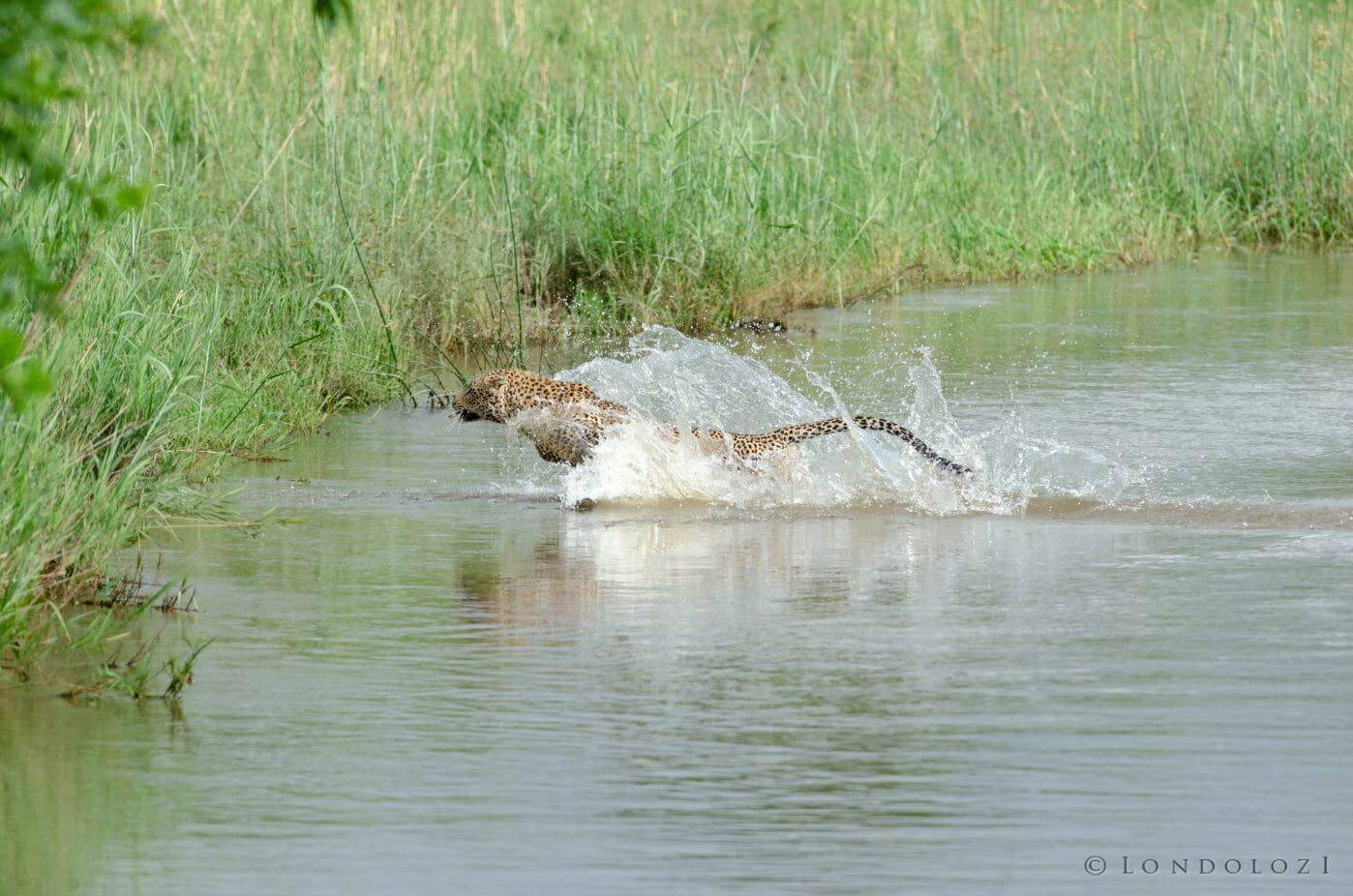 Nyelethi Leopard Jump River 9