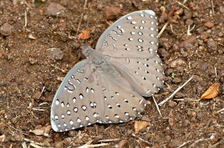 1200px Guineafowl Hamanumida Daedalus 15917808383
