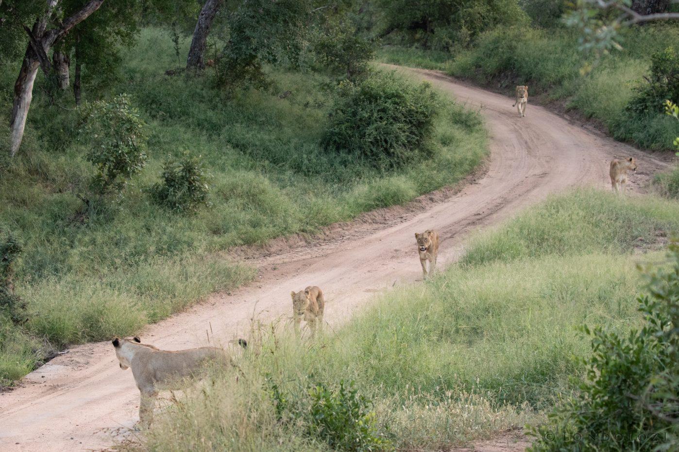 Ntsevu Lion Pride1