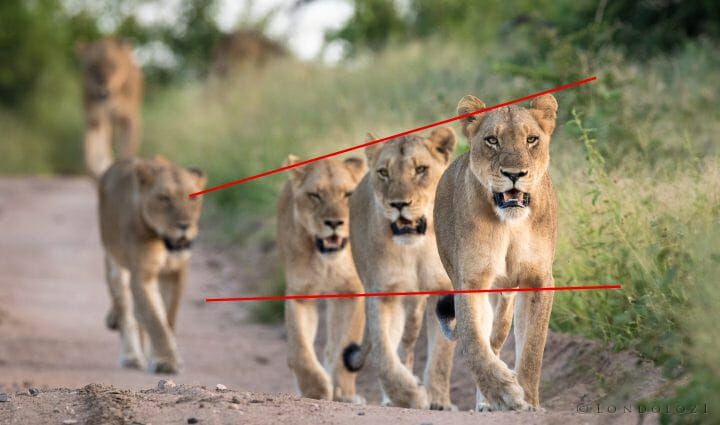 Lioness Leading Lines