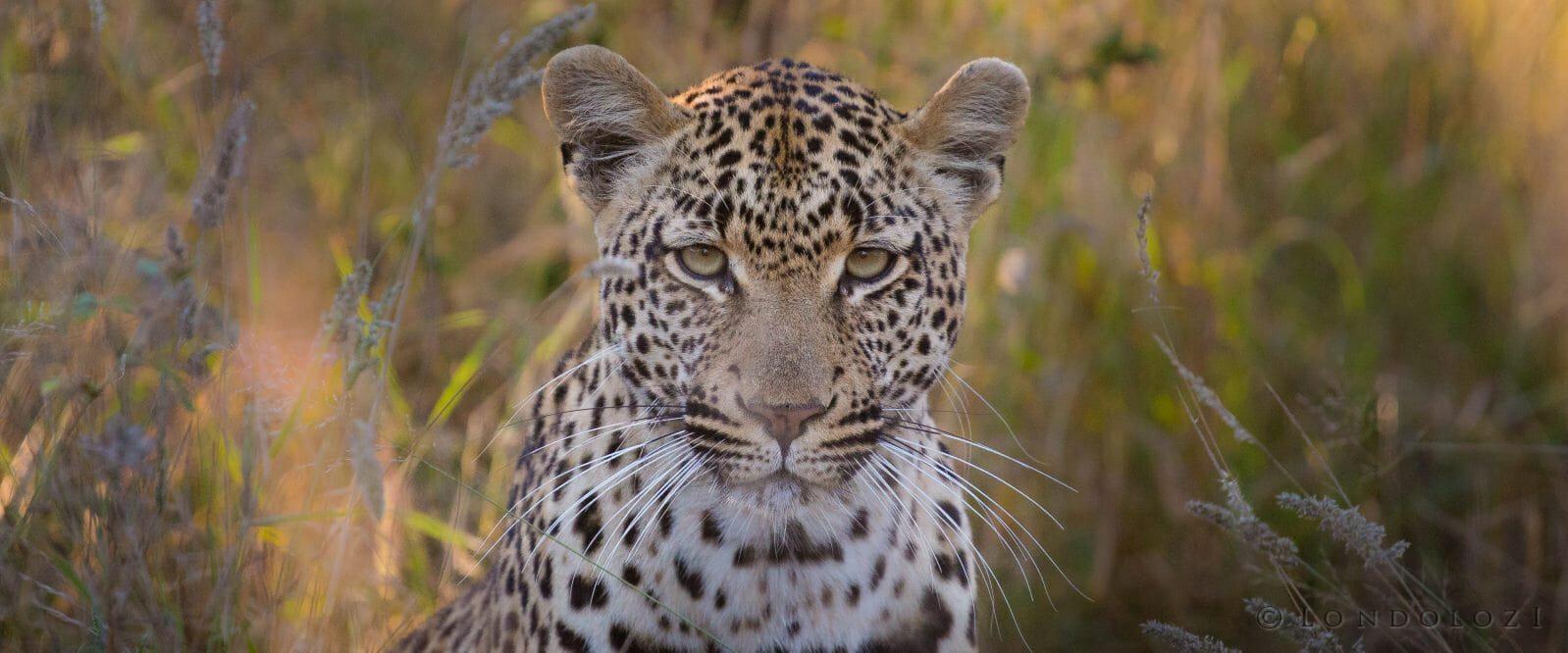 Ingrid Dam Leopard