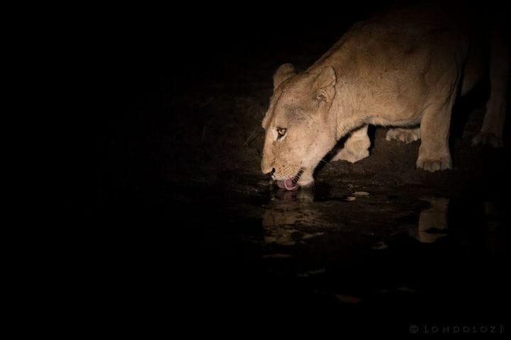 Lioness Drink Spotlight
