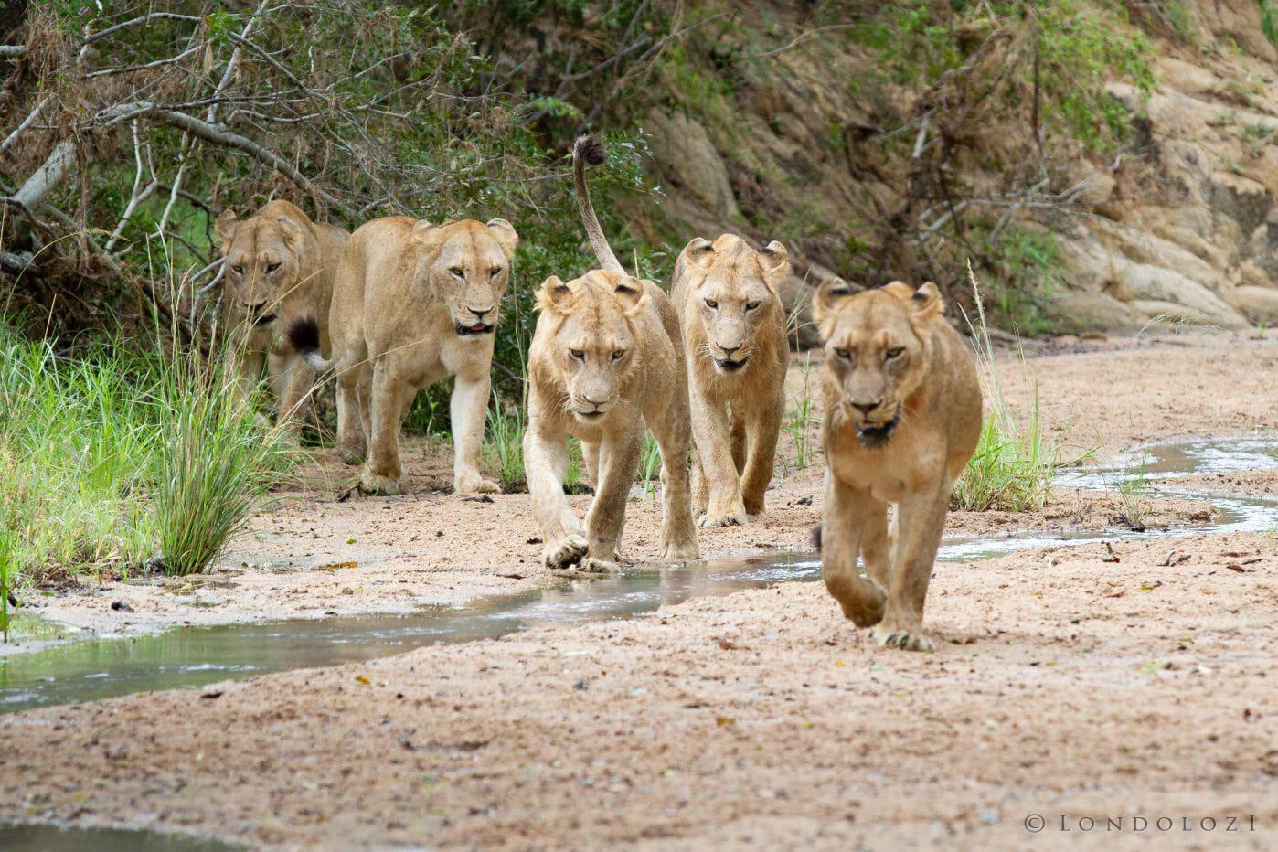 Sparta Pride Lions Maxabene