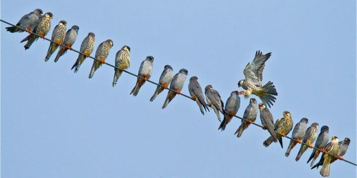Amure Falcon 3