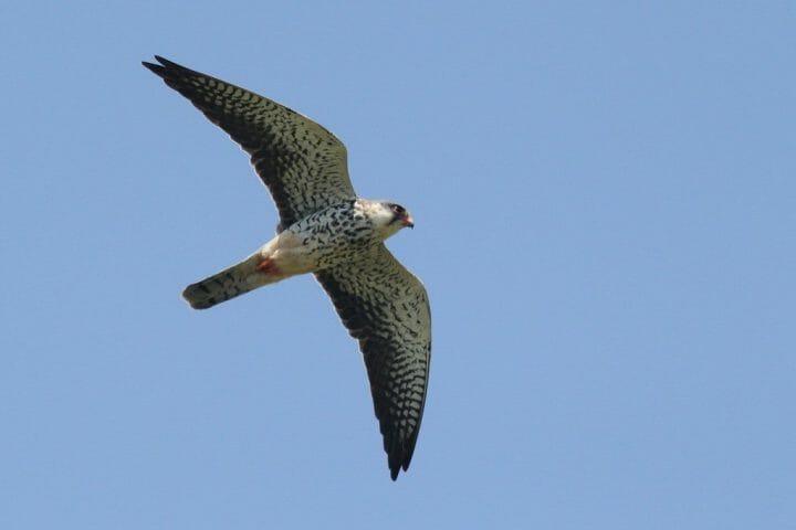 Amur Falcom 2