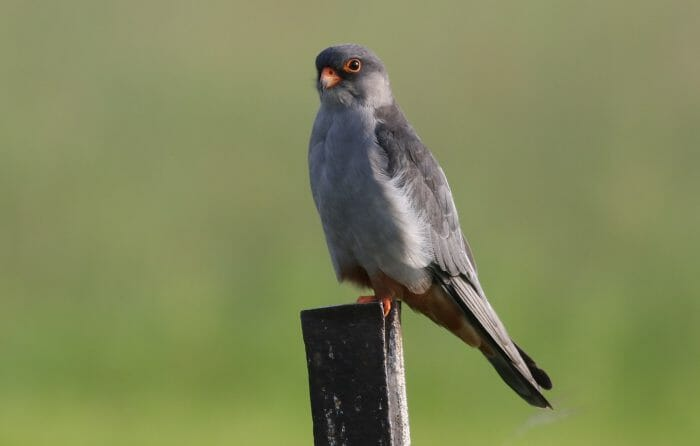Amur Falcon, Falco Amurensis, Male At Eendracht Road, Suikerbosr