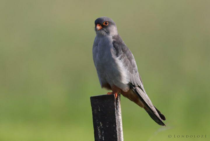 Amur Falcon, Falco Amurensis, Male At Eendracht Road, Suikerbosr
