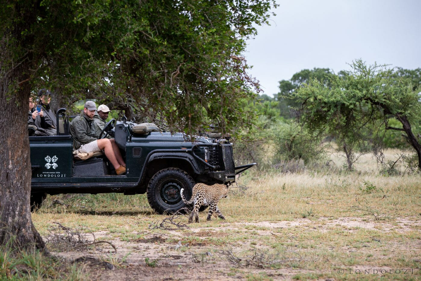 Land Rover Souchon Ndzanzeni Female Leopard