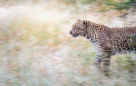 Ndzanzeni Female Leopard Panning Blur