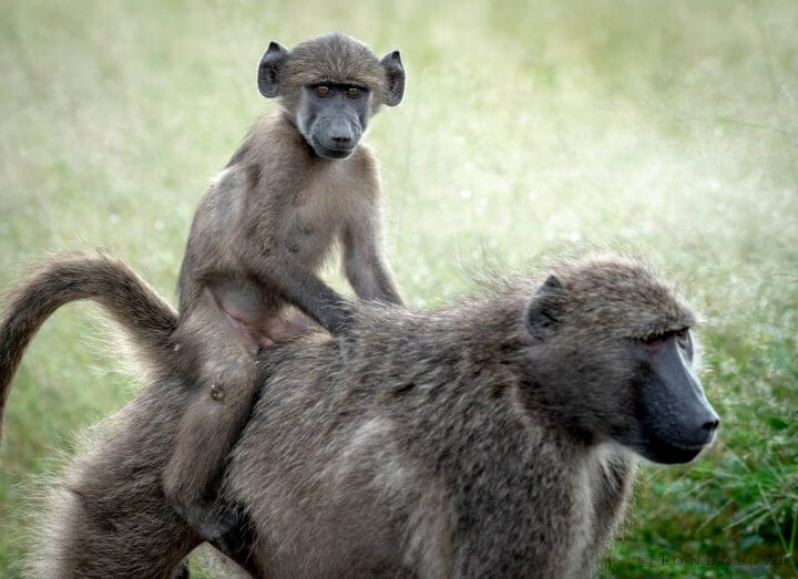 Dsc 2897 - A young baboon rides its mother's back and looks in my direction. The tail of the mother is positioned in such a way that it becomes a seat for the youngster. Young baboons will often ride ...