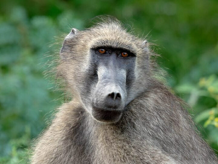 Dsc 2912 - A female baboon quickly glances coyly at the camera.