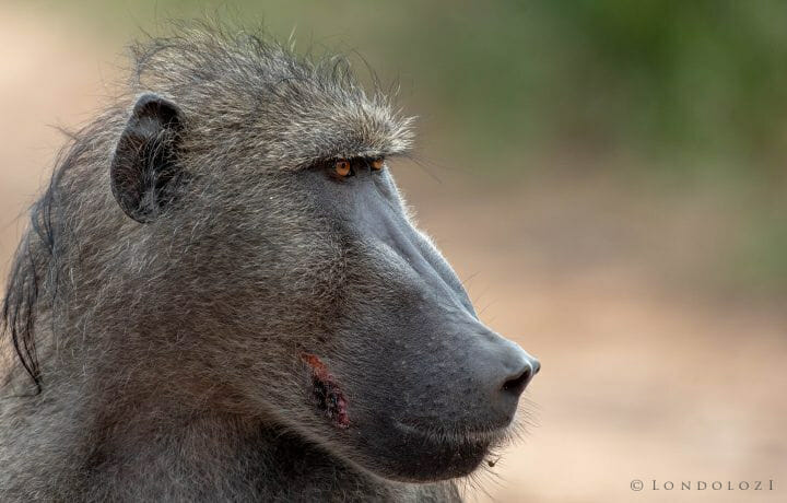 Dsc 3416 - Here a large male baboon, the largest of the troop and most likely the dominant male, sat gazing over the troop and the land they were foraging in. One can clearly see a recent wound on his...