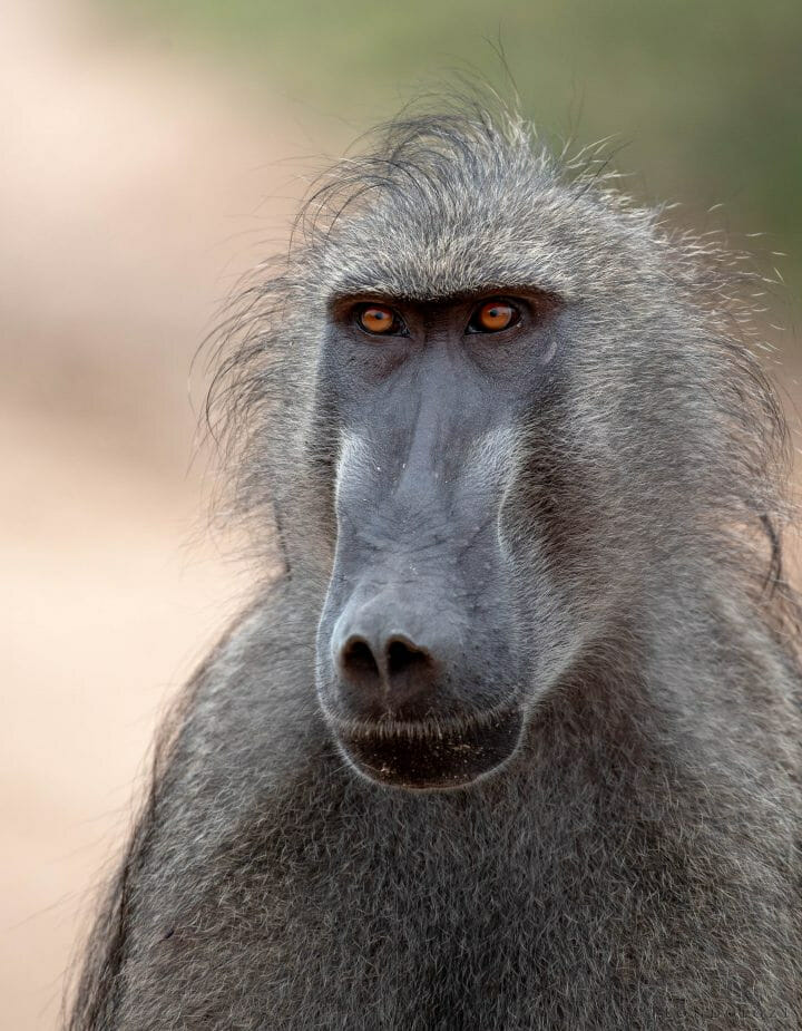 Dsc 3423 - The baboon's piercing eyes hold emotion and tell a story; this is an animal which displays intelligence beyond many others in the bush.