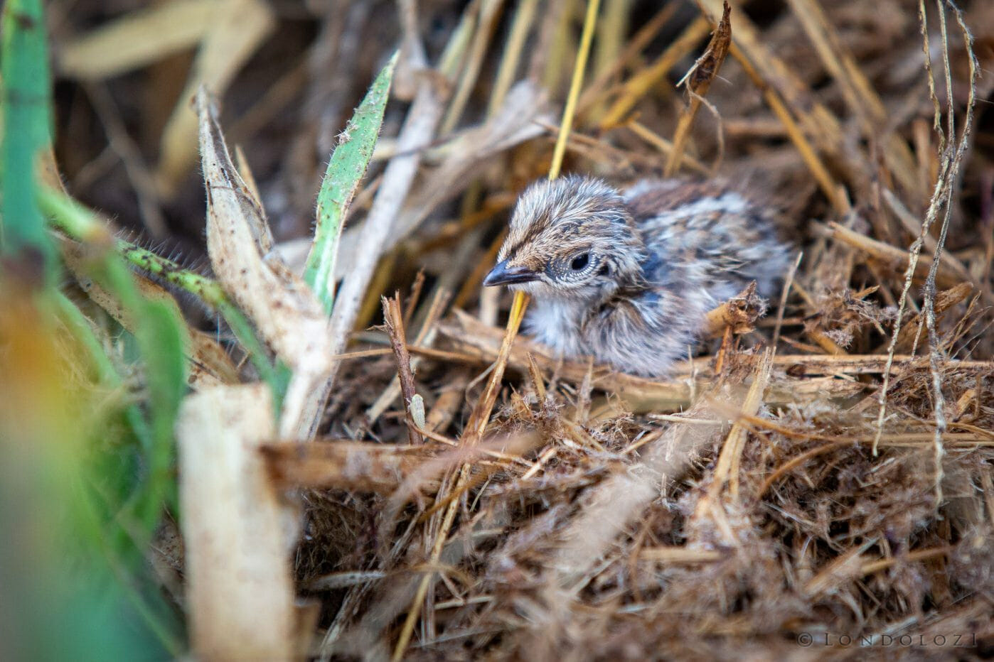 Buttonquail Chick